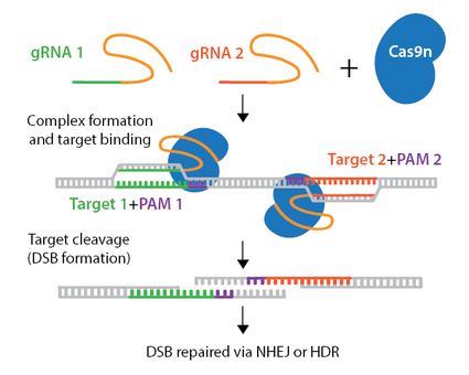 Diagram of CRISPR knockout via nickase