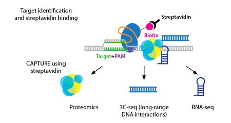 Monitor Chromatin Interactions with CAPTURE
