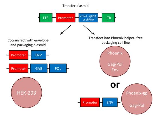 diagram of retrovirus production