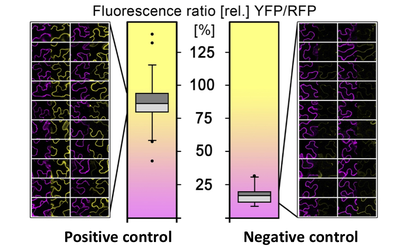 rBiFC Fluorescence ratio