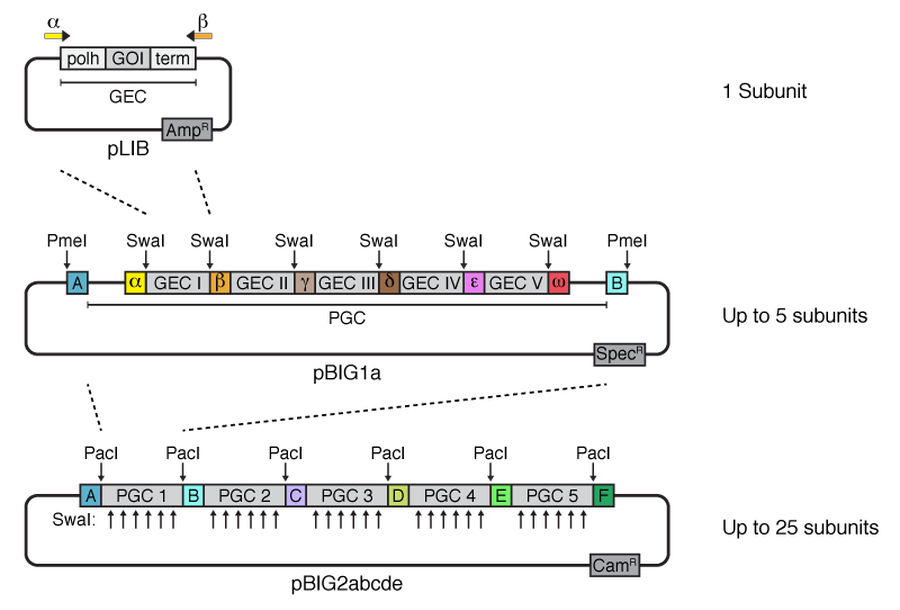 biGBac_figure_for_Addgene_1.png