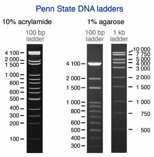 PSU DNA Ladder
