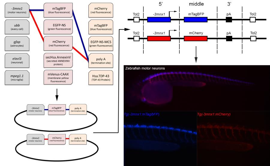 Zebrafish Tol2 Toolkit Overview