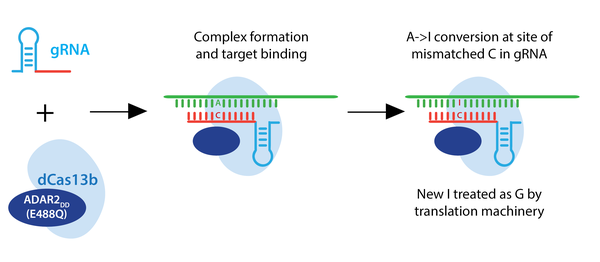 CRISPR RNA targeting schematic