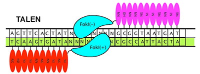 figure of TALEN system binding to DNA