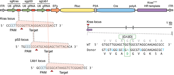 diagram of plasmid with sgRNAs targeting Kras, p53, and Lkb1