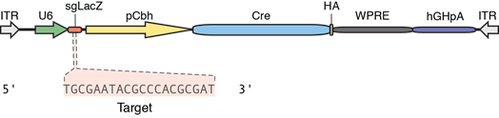 diagram of plasmid with Cre recombinase with sgRNA targeting LacZ