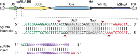 diagram of empty backbone plasmid with Cre recombinase