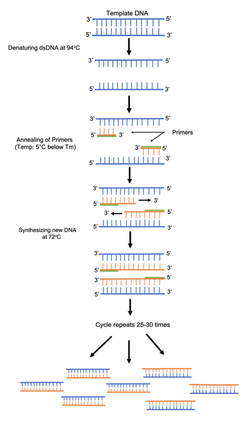 PCR protocol.png