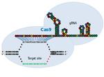 Joung_CRISPR-Cas.jpg