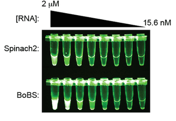 Image showing evidence that BoBS is brighter than the Spinach2 aptamer