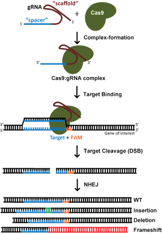 CRISPR Knockout Diagram