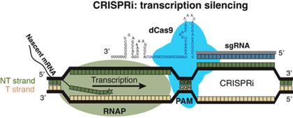 CRISPRi.png