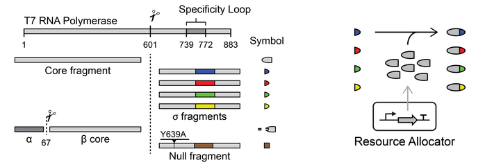 Voigt Lab Fragmented T7 RNAP Plasmids