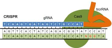 figure of crispr system binding to DNA