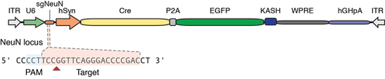 diagram of plasmid with Cre recombinase and EGFP with sgRNA targeting mouse NeuN gene