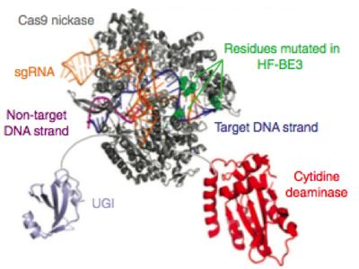 HF CRISPR Base Editor