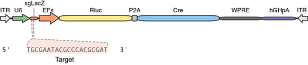 diagram of control plasmid with luciferase and Cre recombinase