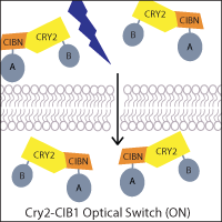 CIB1-CRY2-optical-switch-on.png
