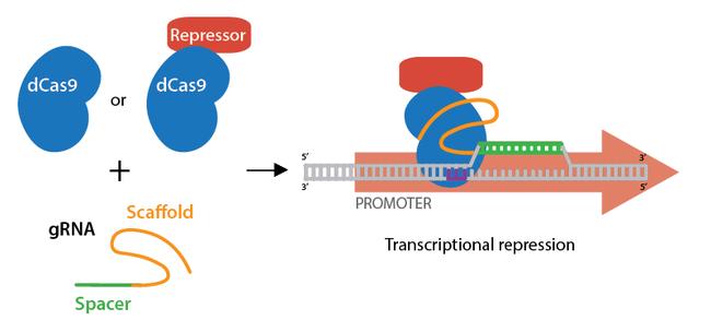 CRISPR-repression-horizontal.png