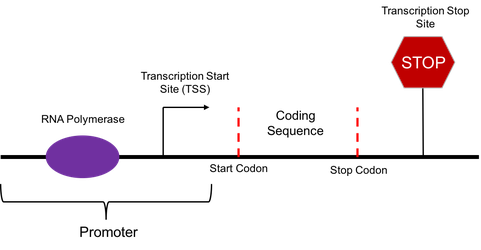 Promoter and Coding Sequence of a Gene