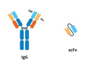 Antibody and scFv schematics