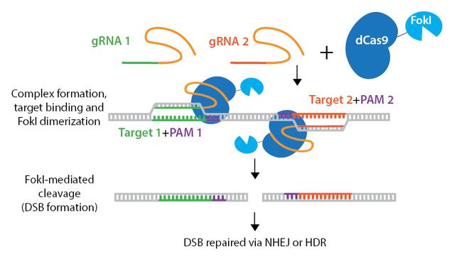 CRISPR-FokI-horizontal.png
