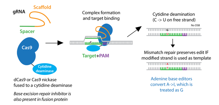 CRISPR base editing schematic