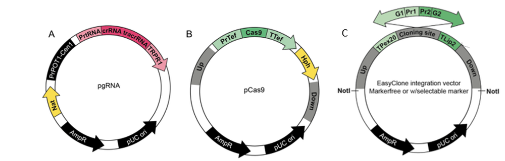 EasyClone CRISPR/Cas9