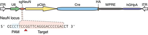 diagram of plasmid with Cre recombinase with sgRNA targeting mouse NeuN gene