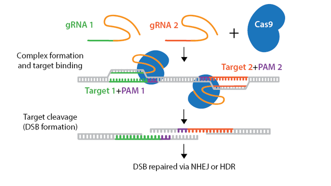 CRISPR-nick-horizontal.png