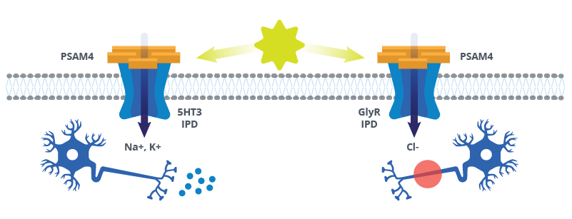 Schematic showing PSAM4 based Ligand Gated Ion Channels, their effect, and outcome in neurons