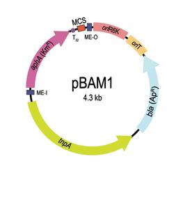 pBAM1 for addgene.png