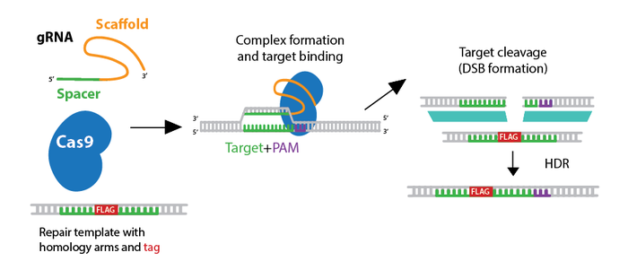 Addgene Crispr Plasmids Tagging