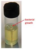 bacterial stab