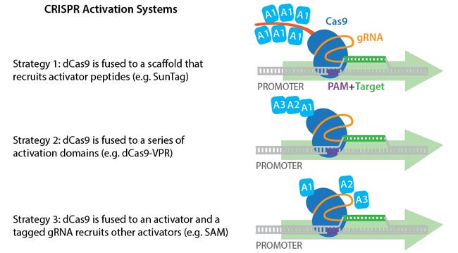 CRISPR-activation3-horizontal.png