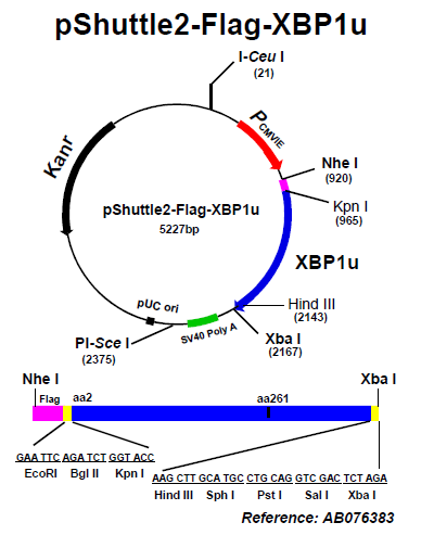 Addgene: pShuttle-Flag-XBP1u