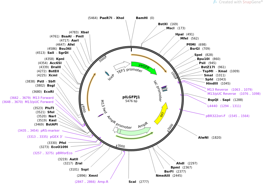 83561-plasmid-map-sequence-id-168933