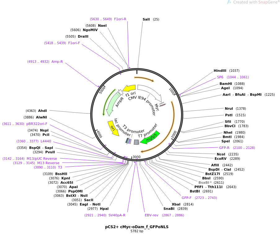 85818-plasmid-map-sequence-id-169572