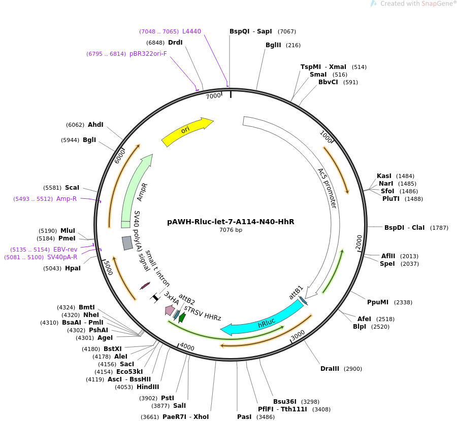 50555-plasmid-map-sequence-id-75863